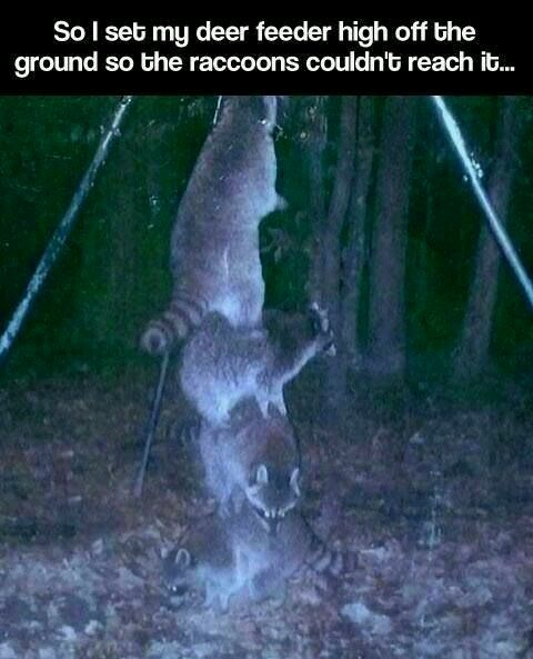Raccoons will do anything to get food