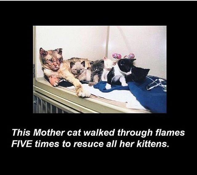 Hero mama cat - meme