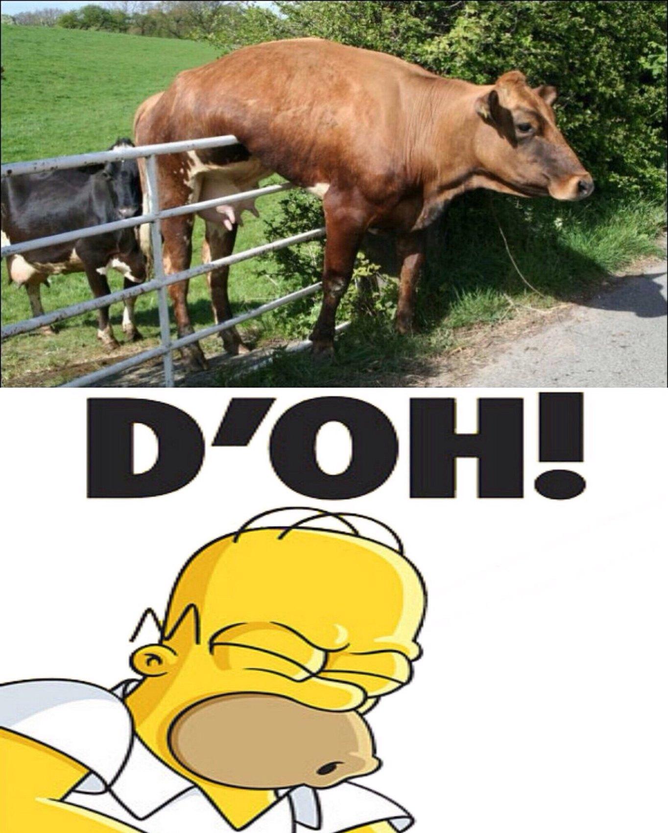 Pauvre vache - meme