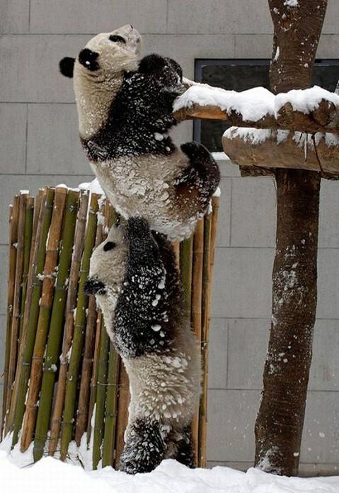 Panda Break. - meme