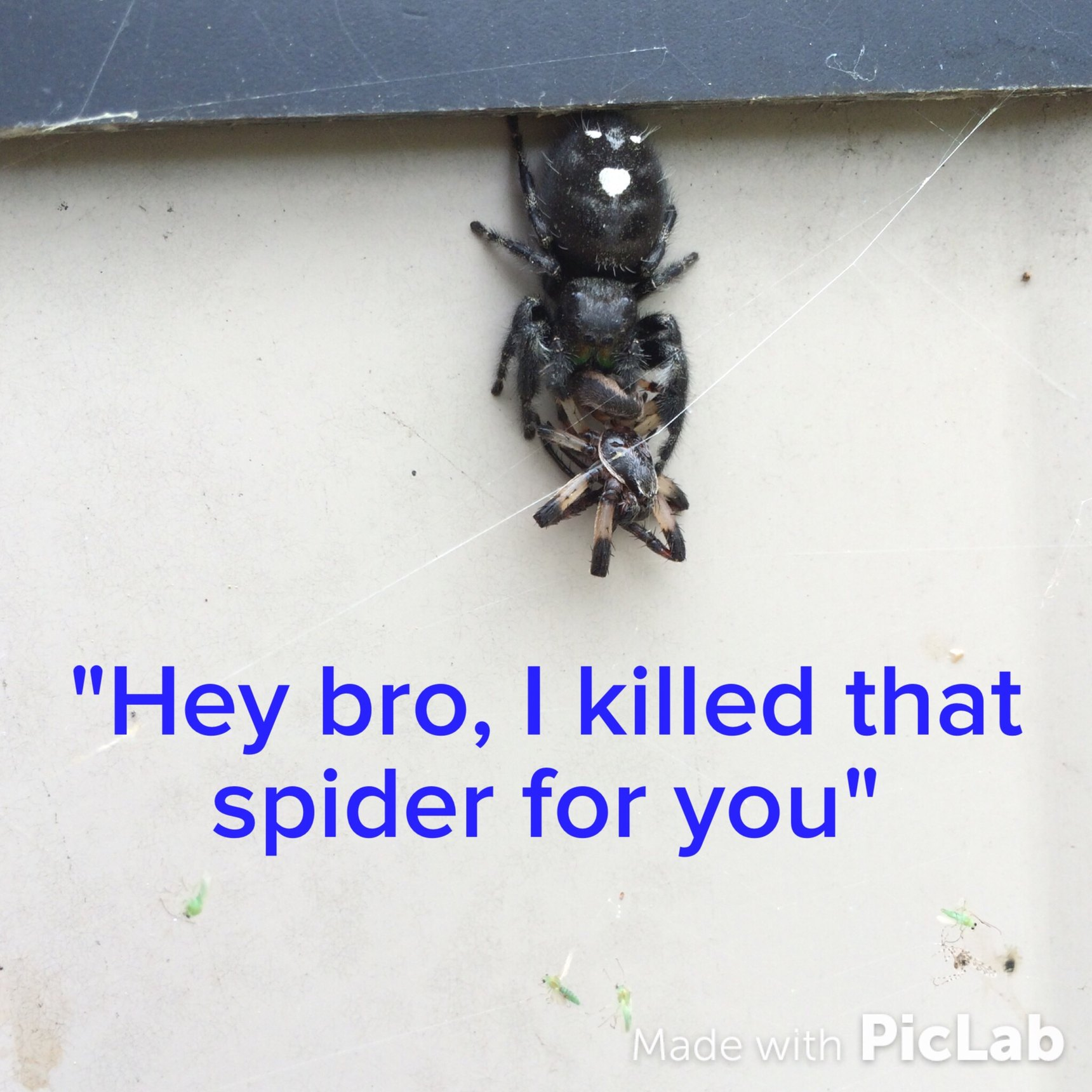Spider buddy kills spiders for you - meme