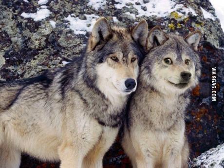 wolfe el primo de doge :) - meme