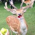 Haha apples