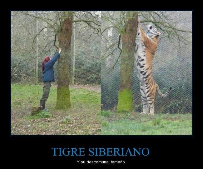 Tigre siberiano - meme