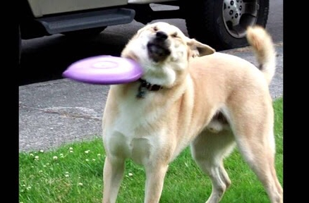 Doge frisbee - meme