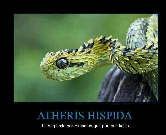 Atheris Hispida - meme