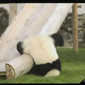 Pauvre panda