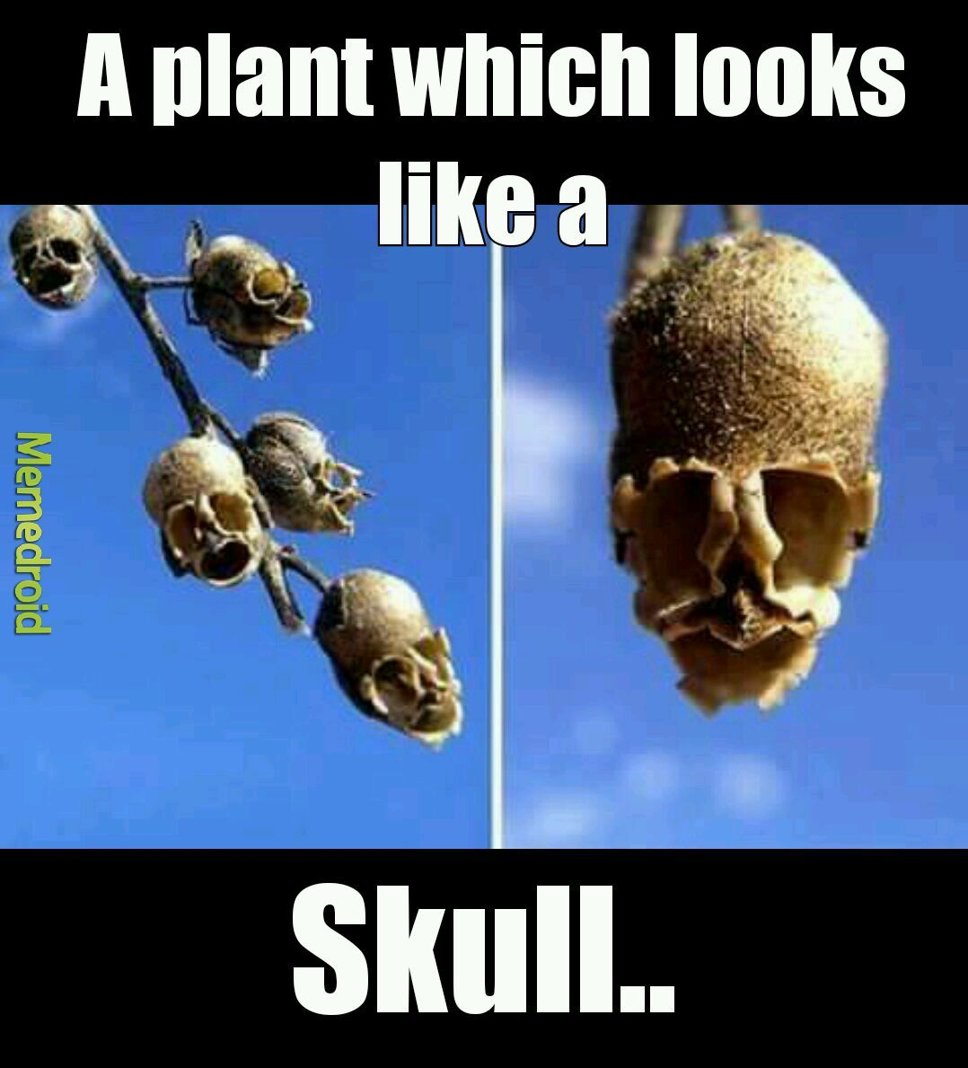 Looks like a skull but really a plant - meme