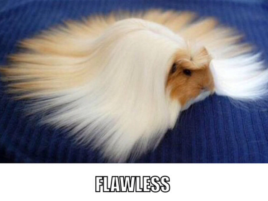 Flawless guinea pig is flawless - meme