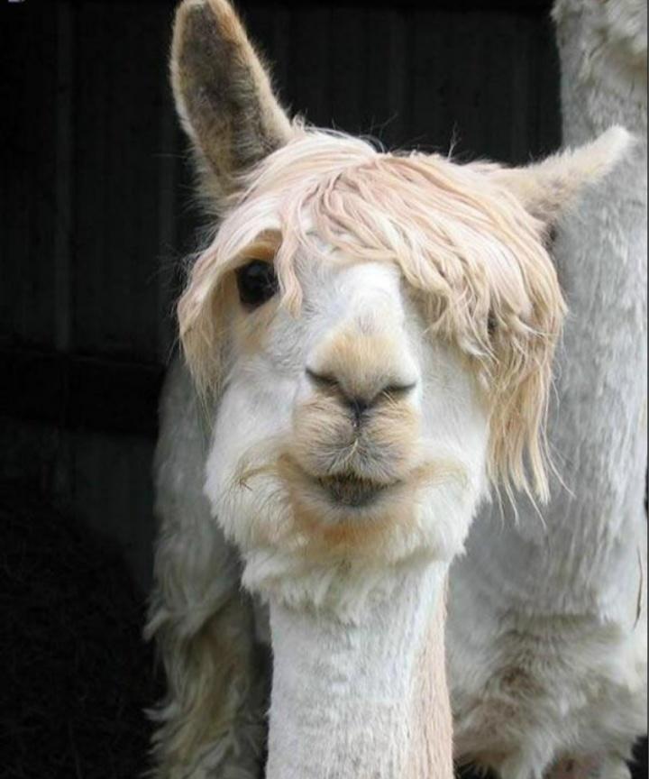 Justin Bieber chez les lamas XD - meme