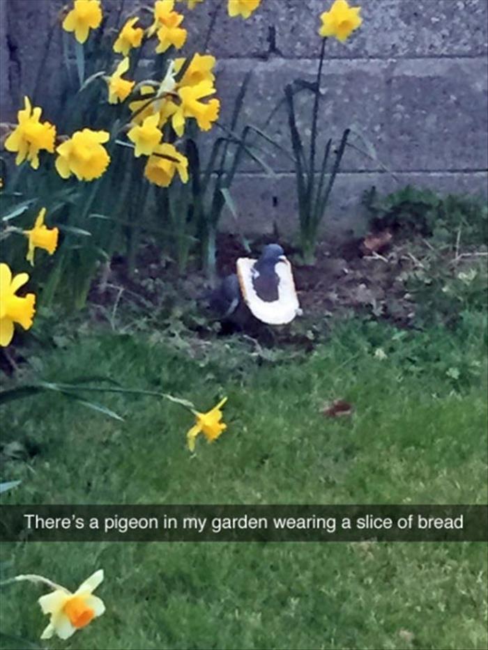 Pigeon bread, my favourite - meme