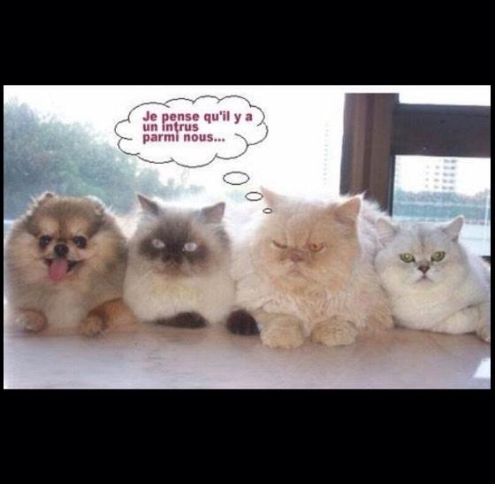 Les chats domineront - meme