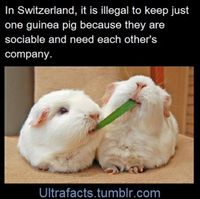 :) guinea pigs - meme