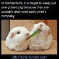 :) guinea pigs