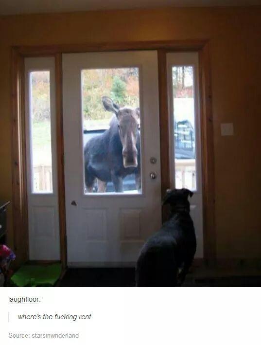 Moose - meme