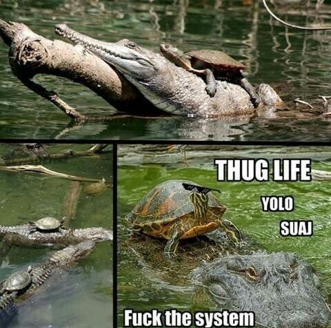 tortuga burlá - meme