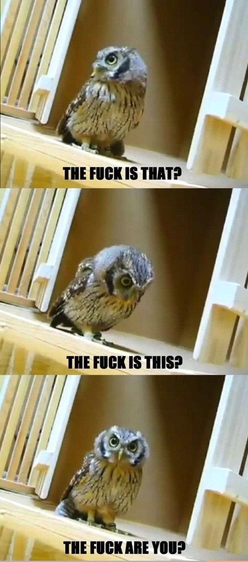 Owl - meme