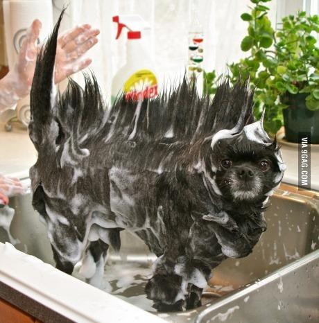 Washing the dog - meme