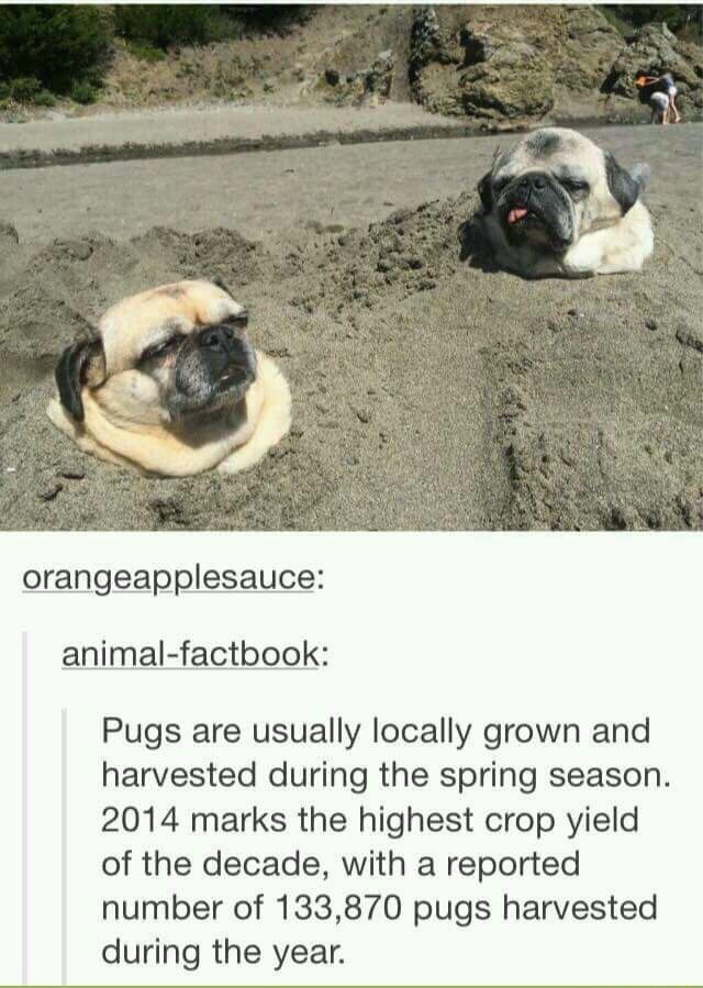 pugs pugs - meme