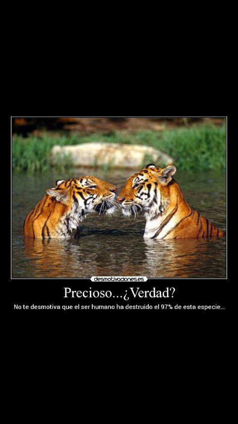 Los Tigres son wapos