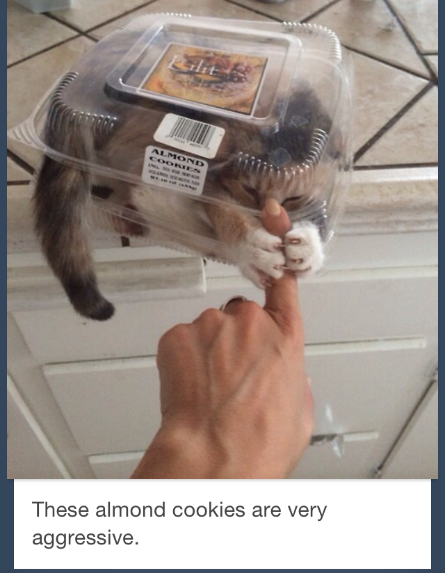 Almond cat - meme