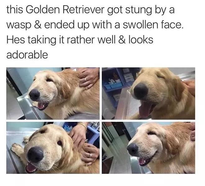 dog gets stung - meme