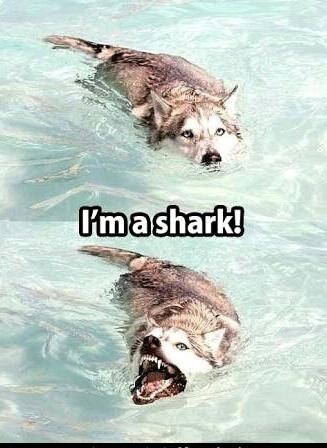 Dog shark - meme