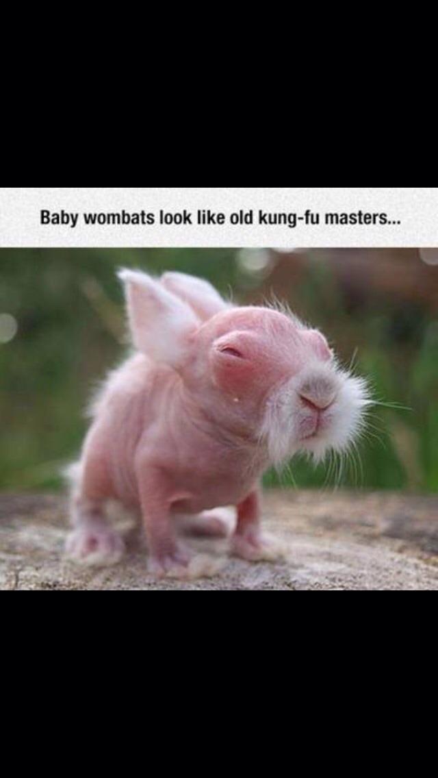 Wombat Fu - meme