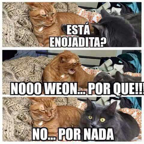 Gatos chilenos po weon ;) - meme