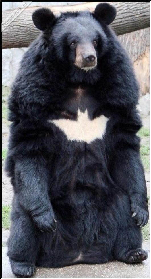 Le BatBear ! - meme