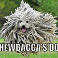 Le chien de chewbacca