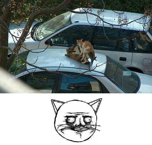Suruba de gatos - meme