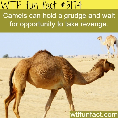 never cross a camel - meme