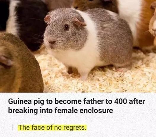 guinea pig - meme