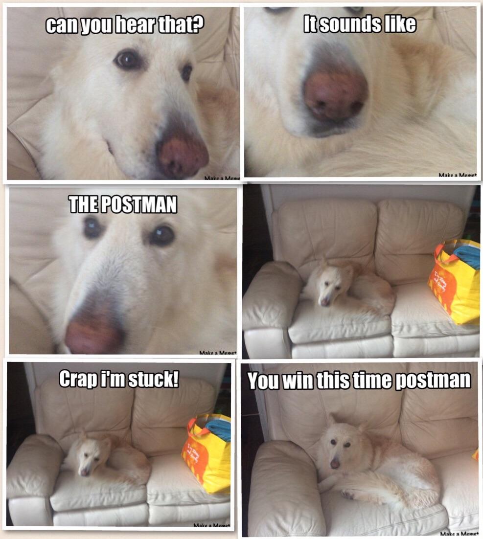 White (lazy) German Shepherd VS postman - meme
