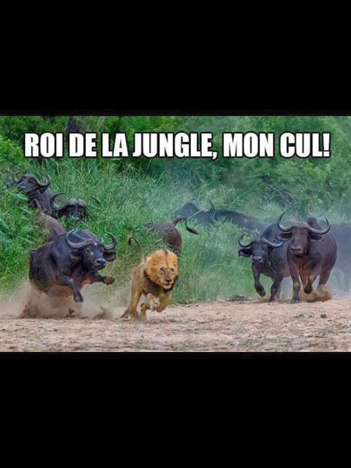 C'est qui le roi de la jungle déjà ? - meme