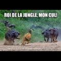 C'est qui le roi de la jungle déjà ?