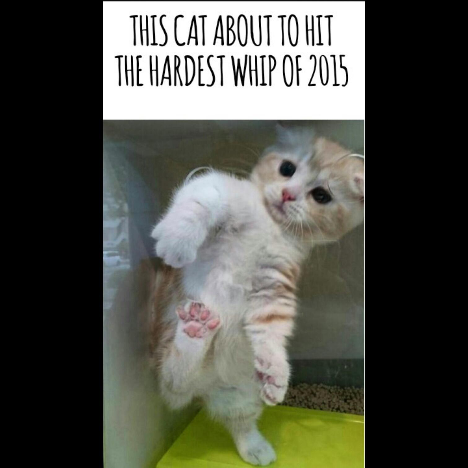 Cat Whip - meme