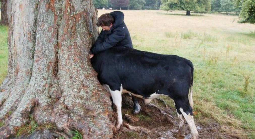 Cow go stuck in a tree - meme