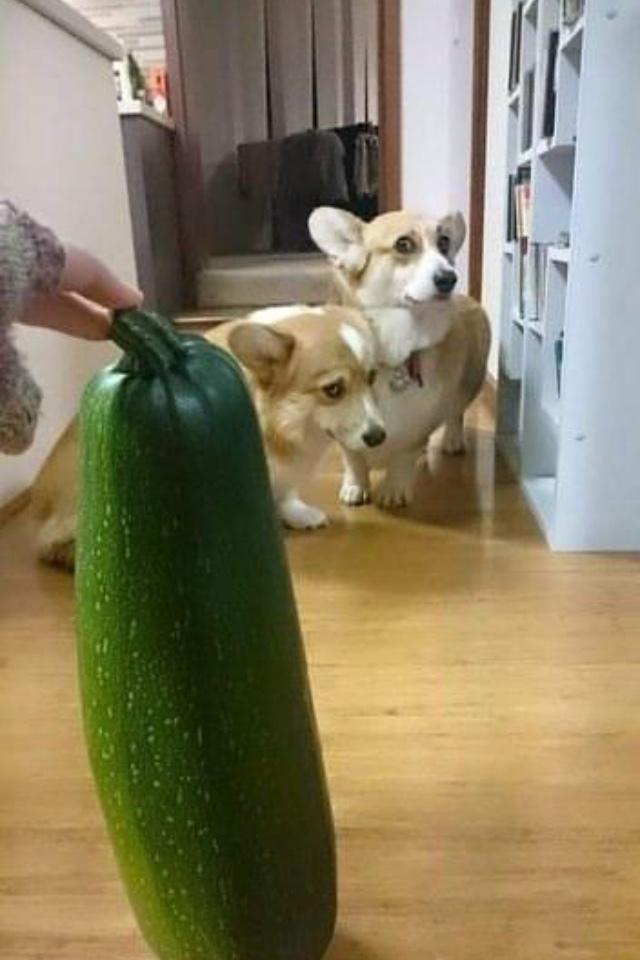 esses cachorros com medo de um chuchu - meme