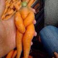 La carrote