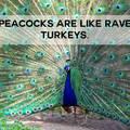 Turkey lurkey