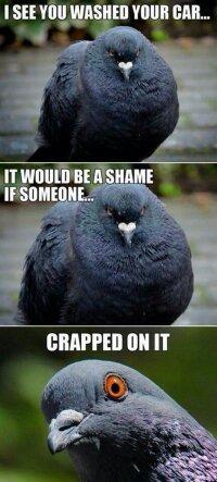 Pigeons - meme