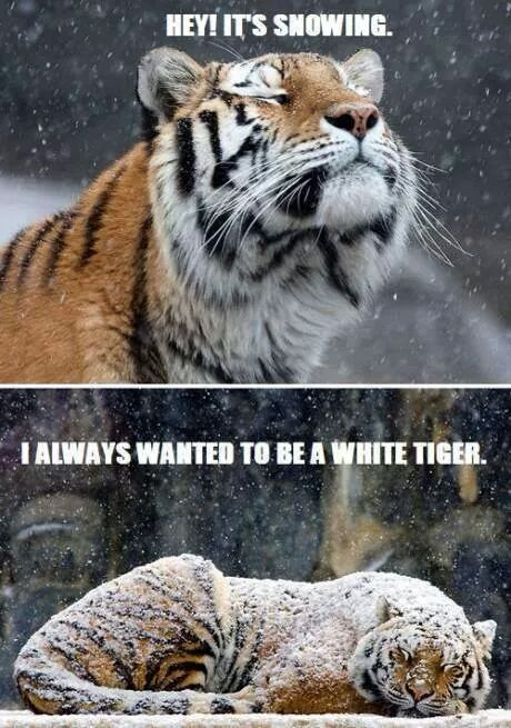 No one ever wants to be a black tiger... - meme