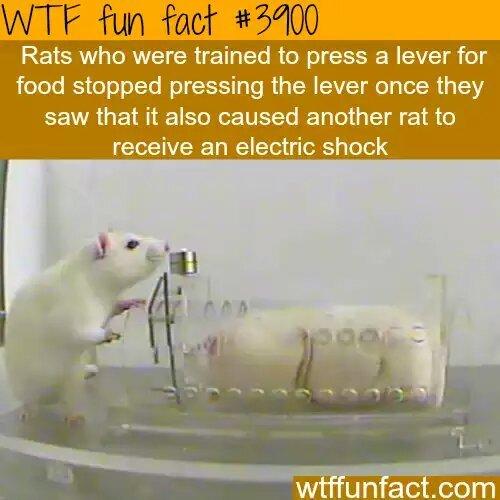 Rats > you - meme