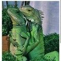 Iguana tap it.