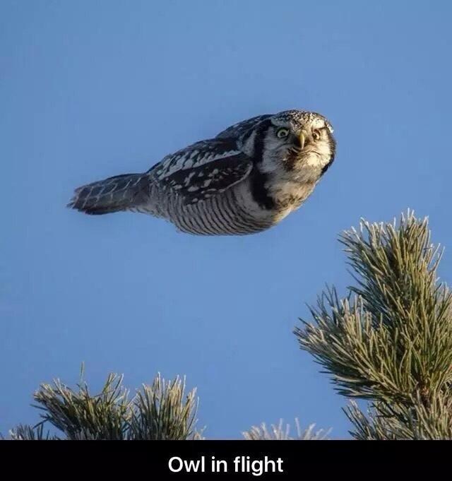 owl in flight - meme