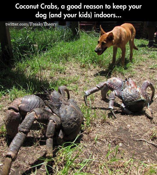Les crabes des cocotiers... Une bonne raison pour garder votre chien (et vos gamins) dedans... - meme