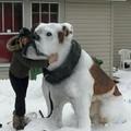 Huge bulldog