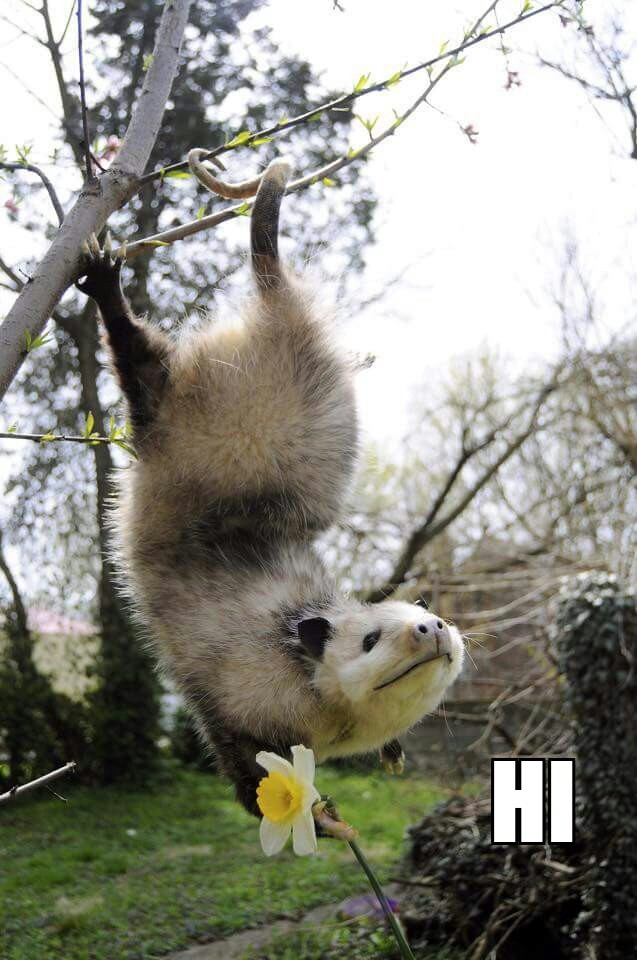 The only cute possum ever - meme